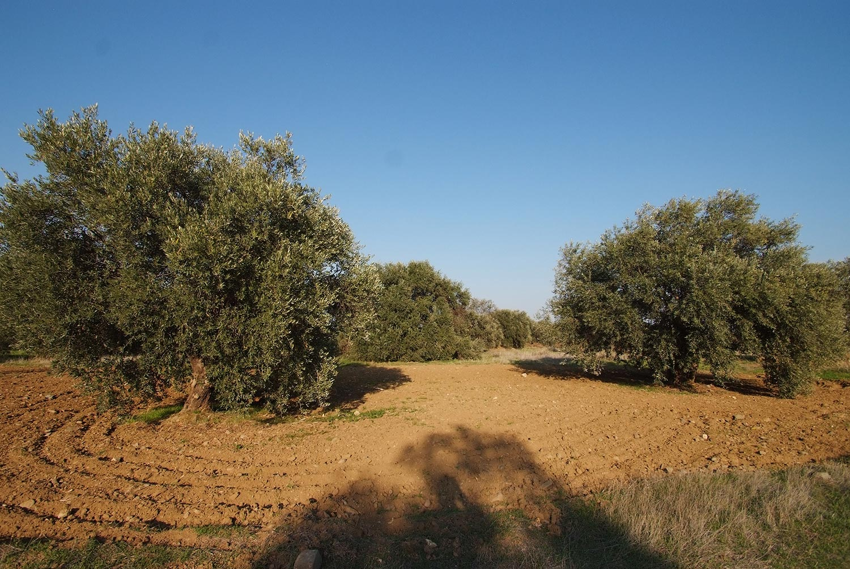 olives_02