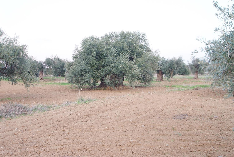 olives_04