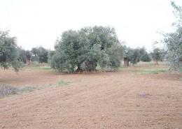 portfolio_olives
